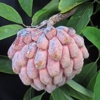 To Sugar Apple Page - Credit: © Karen Jackson