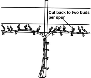 Pruning grape vine georgia university extension - How to prune and train the grapevine ...