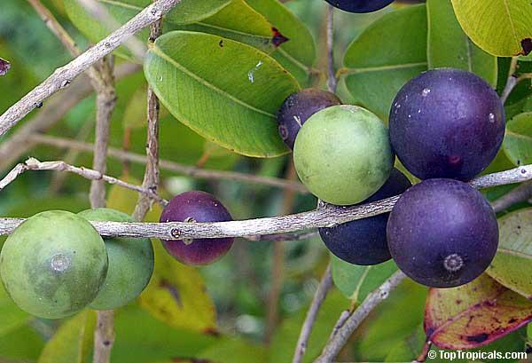 Blue Grape False Jaboticaba Myrciaria Vexator
