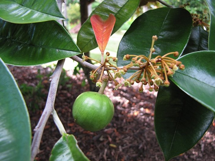 Star Apple - Chrysophyllum cainito