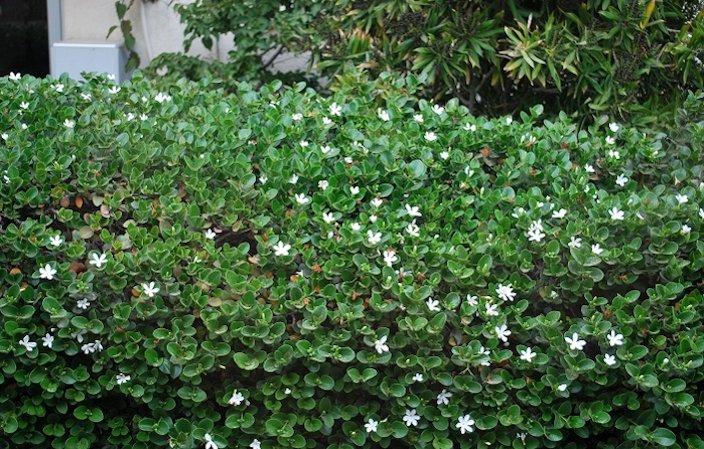 Carissa Natal Plum Carissa Grandiflora