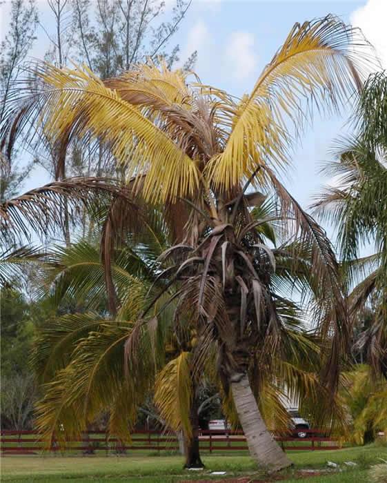 Coconut Palm Diseases