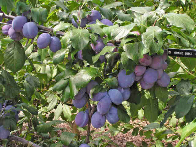 Espalier Fruit Production Rare Fruit Society Of South