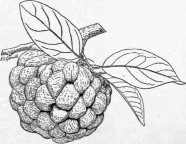 The Sugar Apple by W. Popenoe