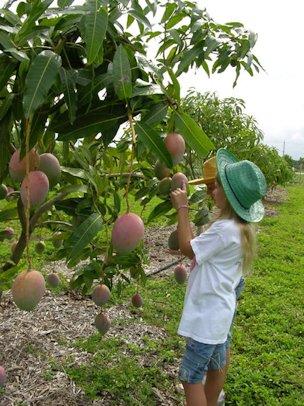 Фото дерева манго в домашних условиях