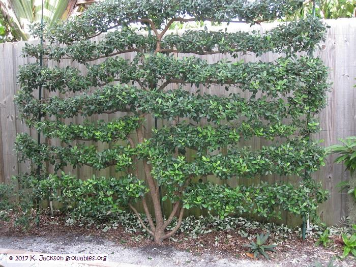 Pineapple Guava Hedge