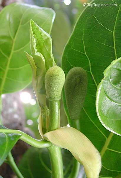 the gallery for gt jackfruit flower