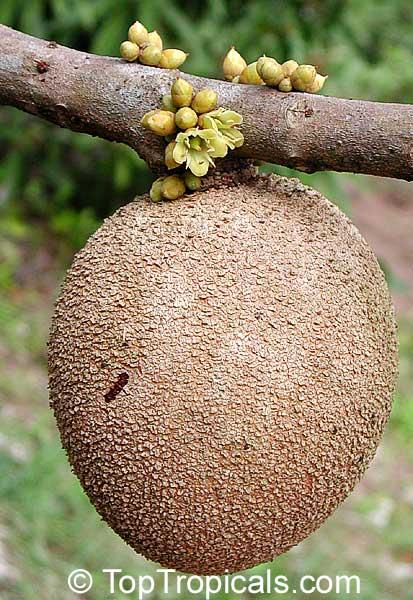 pouteria sapota fruit