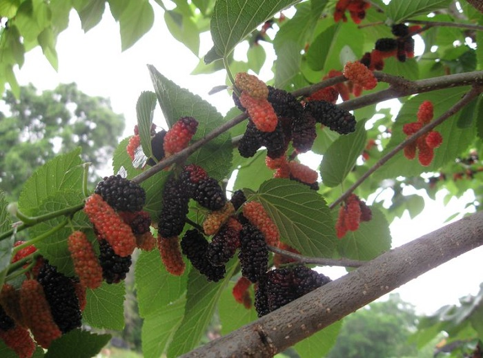 Mulberry varieties from just fruits and exotics nursery fig 17 sciox Image collections