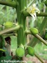 Bisexual female fruit papaya plant shape