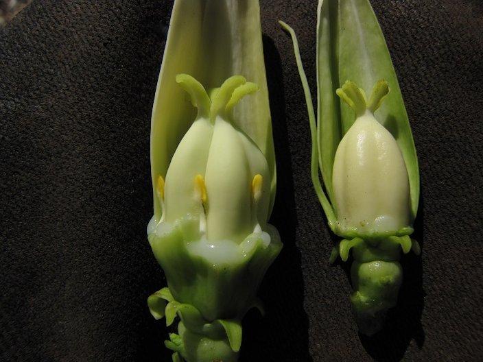 Bisexual papaya flowers