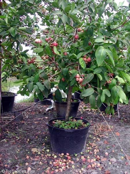 Wax Jambu Syzygium Samarangense