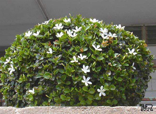 Common Hedge Bushes