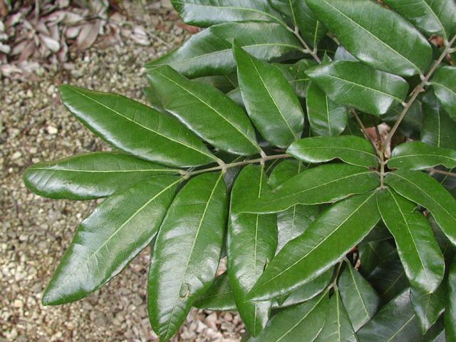 Longan Dimocarpus Longan